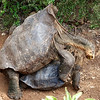Giant Long-Neck Tortoises Mating