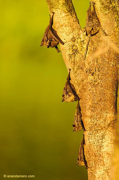Murciélagos narigudos (<em>Rhynchonycteris naso</span></em>) / Proboscis bat