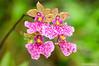 Orquídeas (<em>Caucaea cucullata</span></em>)