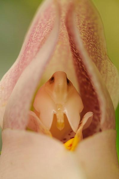 Detalle de orquídea cuna de Venus (<em>Anguloa virginalis</span></em>)