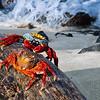 Grapsus Grapsus Crabs