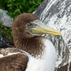Brown Booby Close-Up