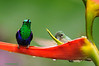 Ninfa coroniverde / Green-crowned woodnymph (<em>Thalurnia fannyi</span></em>)