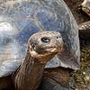 Giant Long-Neck Tortoise