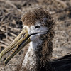 Juvenile waved albatross