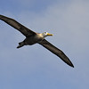 Waved albatross in flight