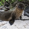 Baby sea lion, about 3 weeks old