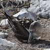 Bluefooted boobie with chick