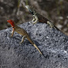 Lava lizards, male and female (red)