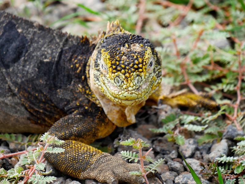 Ecuador/Galapagos Islands OAT Trip, May 2015.<br /> 13 May 2915.  Isla Santa Fe.  We make a few shore landings, hike around, snorkel, and see lots of sea lions, iguanas, birds, crabs, vegetation, etc.