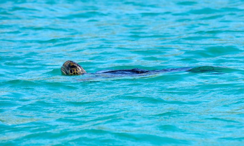 Ecuador/Galapagos Islands OAT Trip, May 2015.<br /> 13 May 2915.  Isla Santa Fe.  A turtle.  We make a few shore landings, hike around, snorkel, and see lots of sea lions, iguanas, birds, crabs, vegetation, etc.