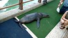 Ecuador/Galapagos Islands OAT Trip, May 2015.  Motorola Droid Turbo cellphone picture.<br /> 12 May 2015.  Isla Santa Cruz.  A Sea Lion comes up on the dock to take a rest while we wait for our dingys to take us to our boat.