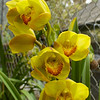 Orchids; Ecuagenera, Orquideras del Ecuador, just outside Cuenca.