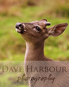 Animals, Zoo, Tangara, White tail deer, Copyright 2013 Dave Harbour