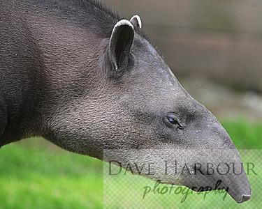 Animal, Zoo, Tangara, Tapir, Copyright 2013 Dave Harbour