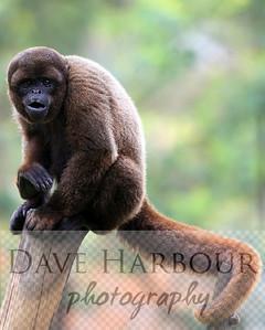 Animals, Zoo, Tangara, Woolly Monkey, Copyright 2013 Dave Harbour