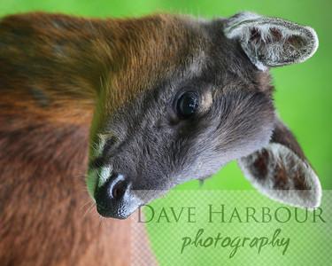 Animals, Zoo, Tangara, Dwarf Deer, Copyright 2013 Dave Harbour