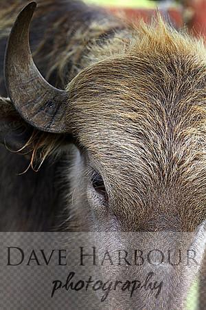 Animals, Zoo, Tangara, Water Buffalo, Copyright 2013 Dave Harbour