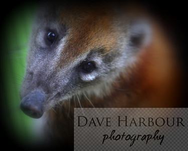 Animals, Zoo, Tangara, Cuchucho, Copyright 2013 Dave Harbour