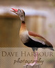 "Birds, Zoo, Tangara, ""Watch Duck"", Copyright 2013 Dave Harbour"