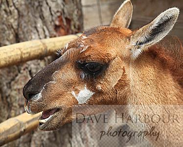 Animals, Llama, Mitad del Mundo, Copyright Dave Harbour 2013