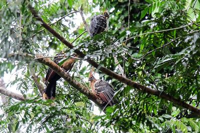 The Hoatzin or Stink Bird,  (Opisthocomus hoazin).