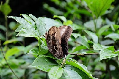 Owl butterfly (Caligo eurilochus).
