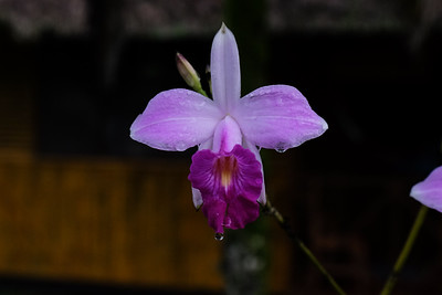 A purple Cattleya orchid.