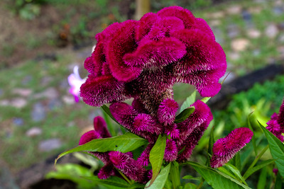 Celosia, Purple Cockscomb.
