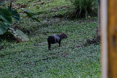 Black Agouti (Dasyprocta fuliginosa).