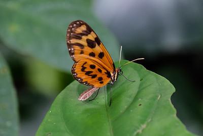 Tigerwing - Nymphalidae, Forbestra equicola.