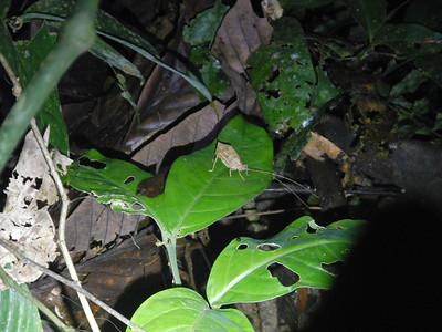 Leaf-mimicking Katydid.
