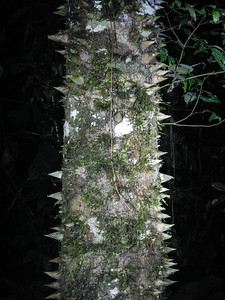 """Not an insect...but a very """"thorny"""" tree."""