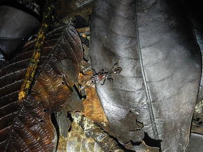 Leaf Cutter Ant.