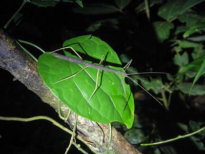 Walking stick insect (Pseudophasma bispinosa).