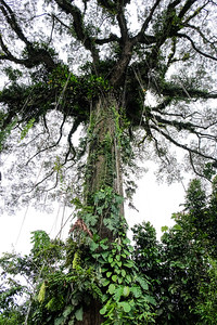 Looking up to the top of the Kapok Tree.
