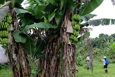 Banana tree - Musa acuminata.