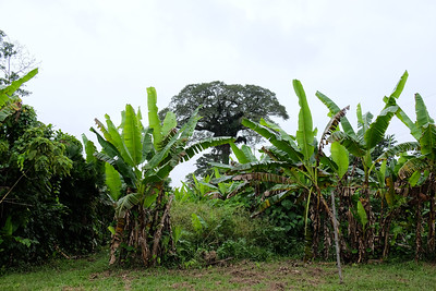 Banana trees give a very tropical feel.