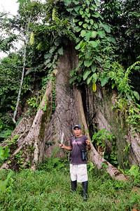 "Livio and the Cebia ""Kapok"" Tree - Ceiba pentandratree."