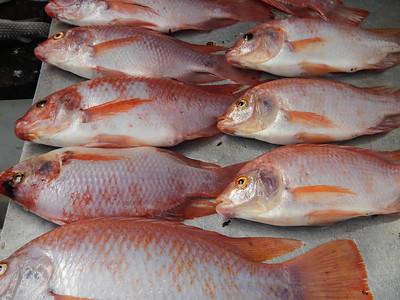 Orange roughy deep sea perch (Hoplostethus atlanticus).