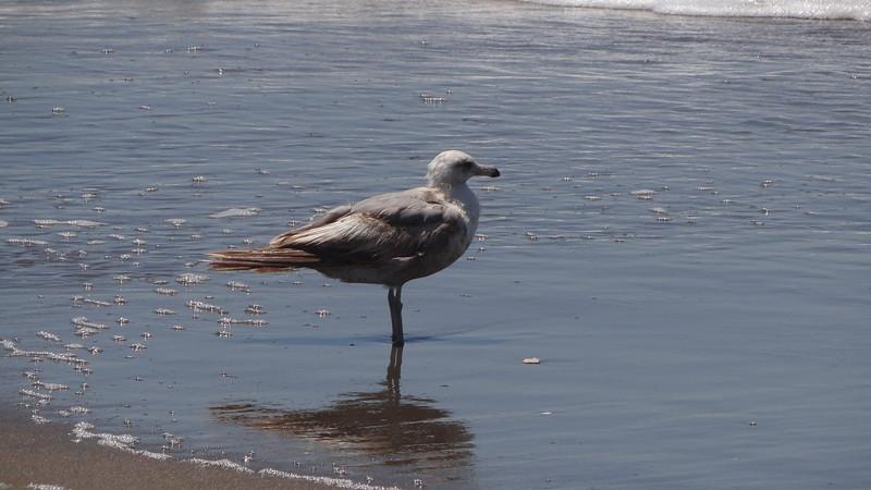Sea Gull wets feet