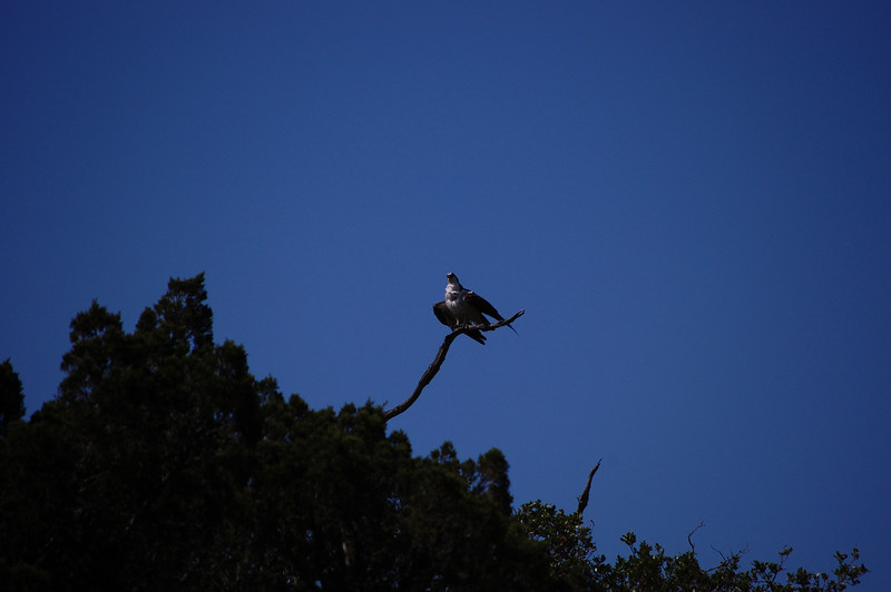 we saw this Osprey in a tree