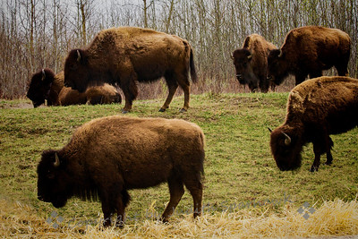 Plains Bison Herd