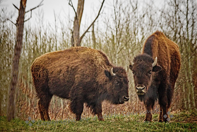 Bison Pair Gossiping