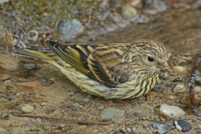 Pine Siskin ~ This Pine Siskin was dabbling in shallow water along the path around Lake Louise, in Banff National Park.  Because they tend to flit around in the trees, I've never managed to capture them before, so I was glad for this view.