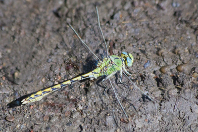 Pale Snaketail Dragonfly