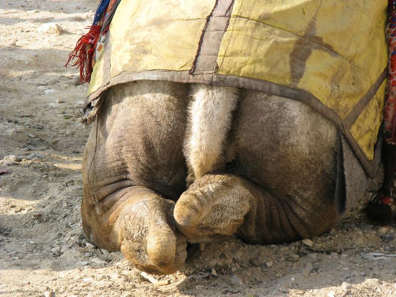 Camel butt.