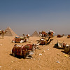 Title: The New Workers at the Pyramids<br /> Date: October 2009<br /> The camels on the Giza Plateau, with the pyramids in the background.
