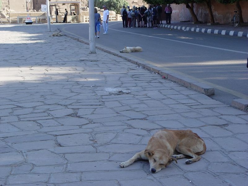 c) So far we've seen an Egypt full of cats. However, upon arrival to Karnak temple in Luxor, we see dogs lying everywhere. See the one white dog lying in the middle of the street. I checked the dog in the foreground (isn't he cute!) to make sure he was actually alive. The dogs were alive but very groggy. They sleep during the day and wander around at night.