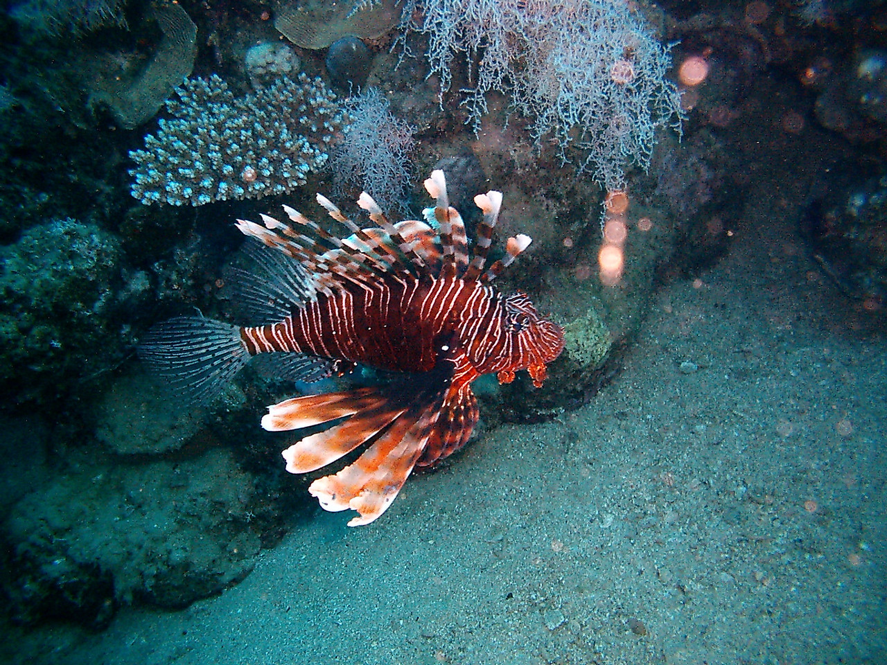 y) Another beautiful specimen of a lionfish.